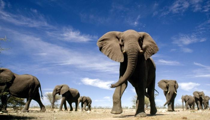 5 захватывающих фактов о слонах