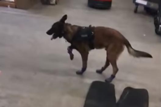 Полицейская собака примерила новые ботиночки и стала звездой соцсетей