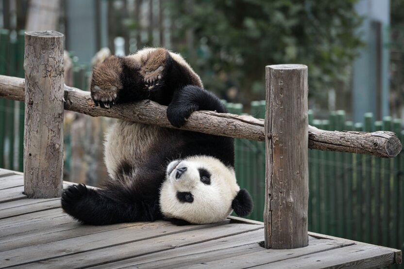 Китайские и российские панды завели себе чат! О чем болтают забавные мишки
