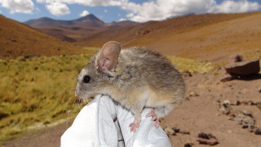 Отважный мышонок поселился на вулкане