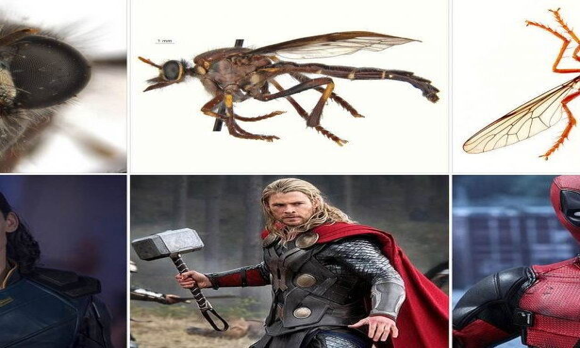 Австралийские мухи получили имена супер-героев