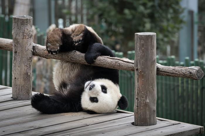Праздник бамбуковых медведей в Китае