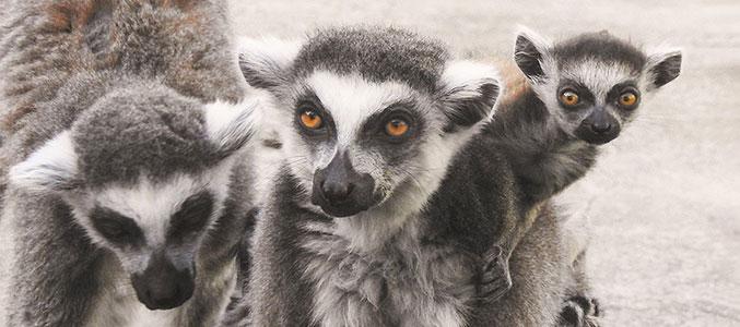 В Московском зоопарке родились детёныши лемура