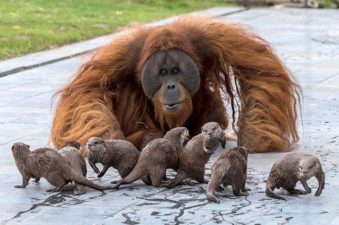 В бельгийском зоопарке семейство орангутанов подружилось с выдрами