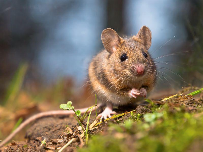 Мыши умеют улыбаться! Сенсационное открытие ученых